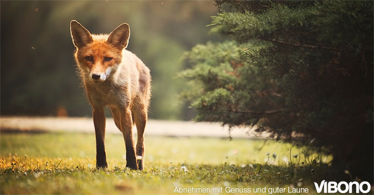 Spannende Abnehm-Abenteuer - Der Fuchs
