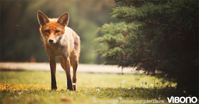 Spannende Abnehm-Abenteuer – Der Fuchs